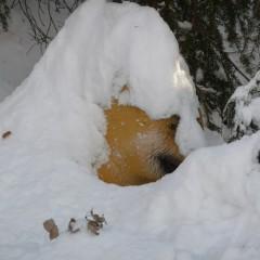 Ours polaire en hibernation